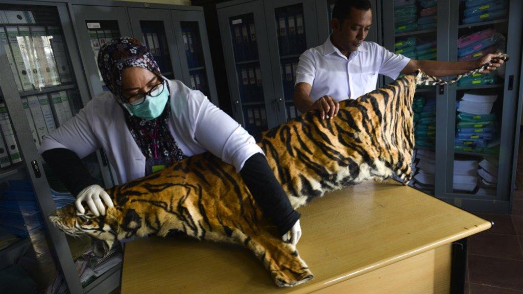Onderzoekers bekijken de huid van een Sumatraanse tijger die in beslag is genomen.