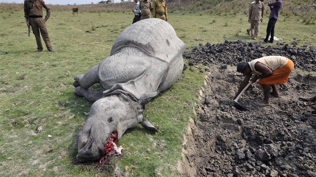 Een neushoorn in het Indiase Pobitora Wildlife Sanctuary is gedood door stropers die vervolgens de hoorn van het dier hebben afgezaagd.