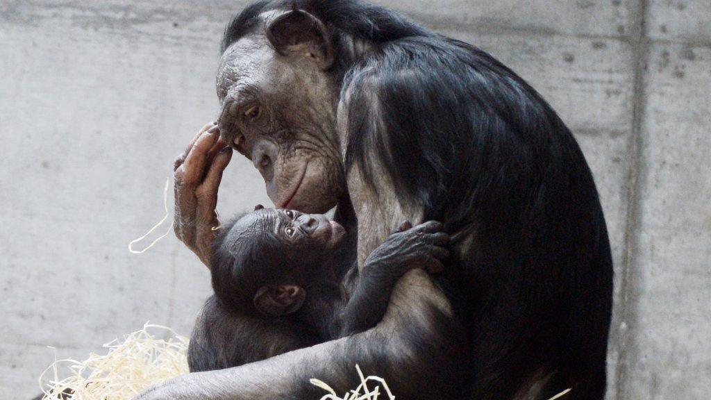 Een bonobo-moeder met haar kind in een dierentuin in Duitsland.