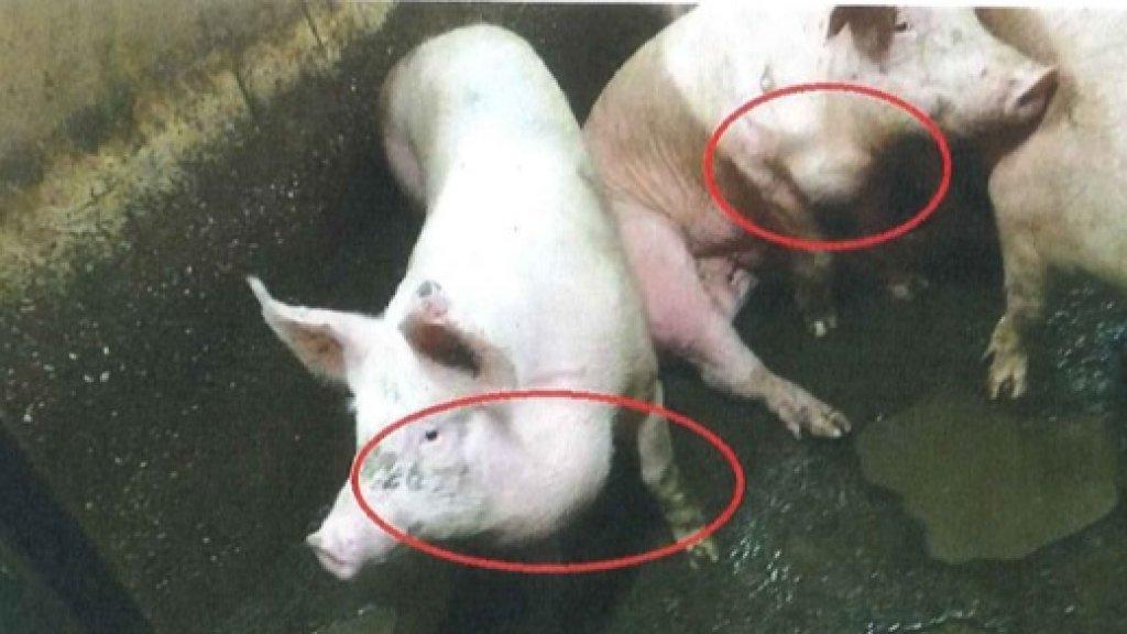 Varkens met abcessen in kaak en hals.