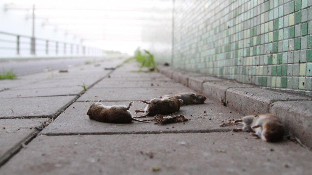 Een weginspecteur ruimt de muizen iedere dag met de hand op.