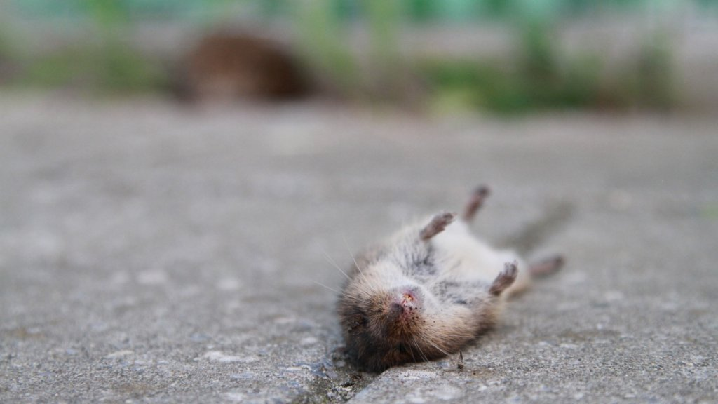 Een van de vele muizen die naar beneden is gestort en de val niet heeft overleefd.
