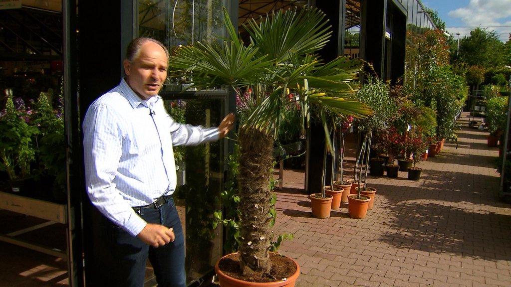 Palmbomen doen het tegenwoordig prima in Nederland, vertelt Peter Paul Kleinbussink van Intratuin.