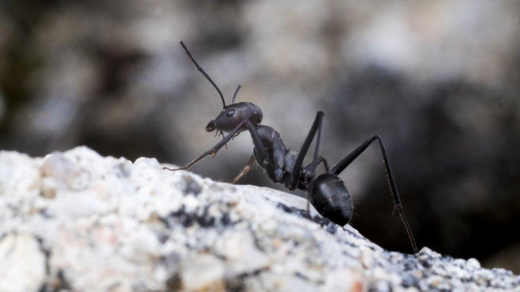 De zwarte mier wordt verdrongen door het draaigatje.