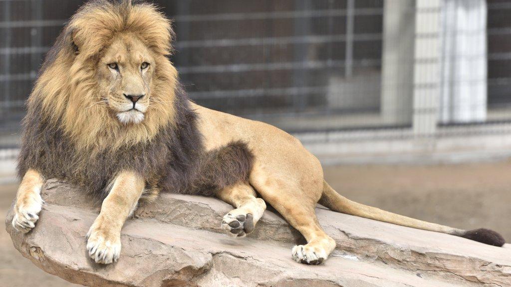 Leeuw 'Simba' op zijn koningsrots in Anna Paulowna.