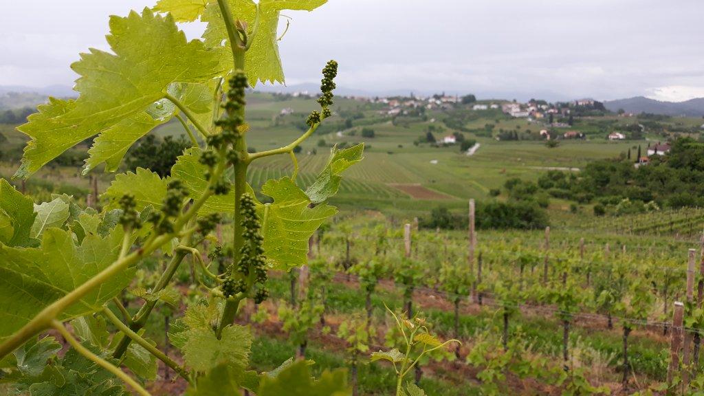 Wijngaard in Goriška Brda