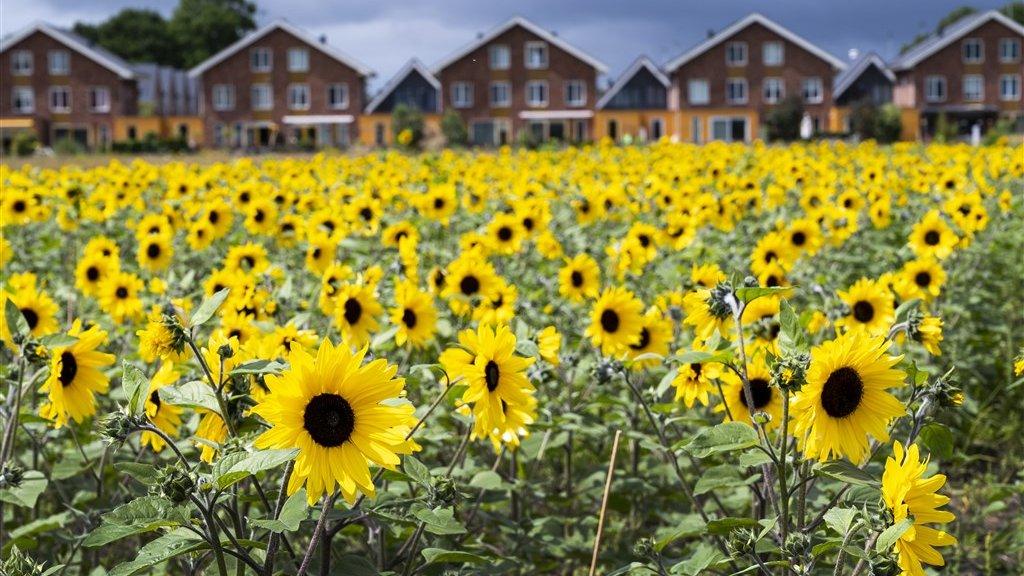De zaadjes waar deze zonnebloemen uit ontkiemden, komen uit Oekraïne.