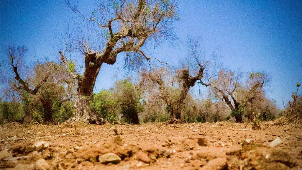 Schade aan olijfbomen door de bacterie.