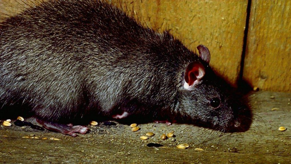 De zwarte rat is bezig met een opmars