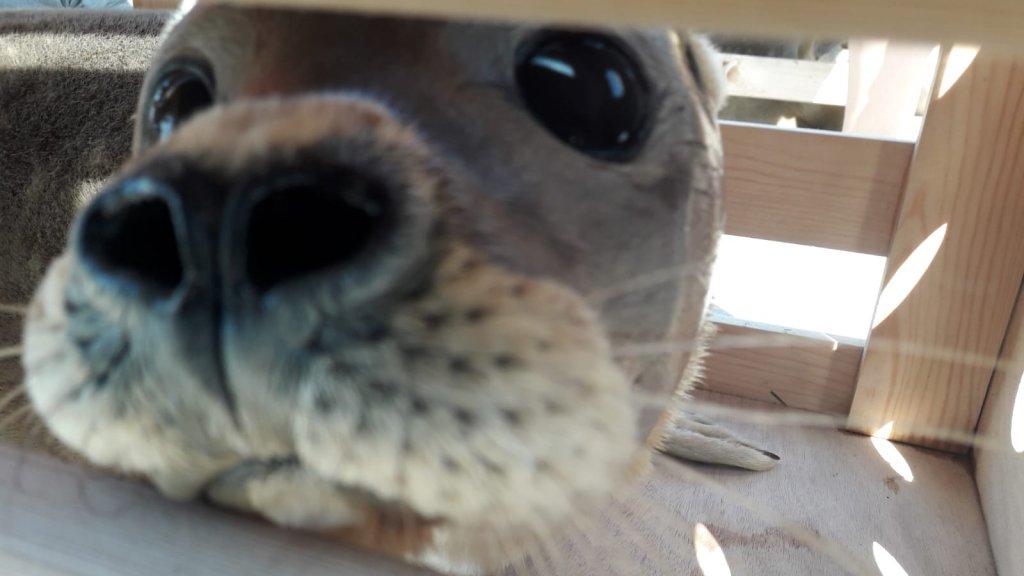 Zeehond Paul bij zijn vrijlating in september.