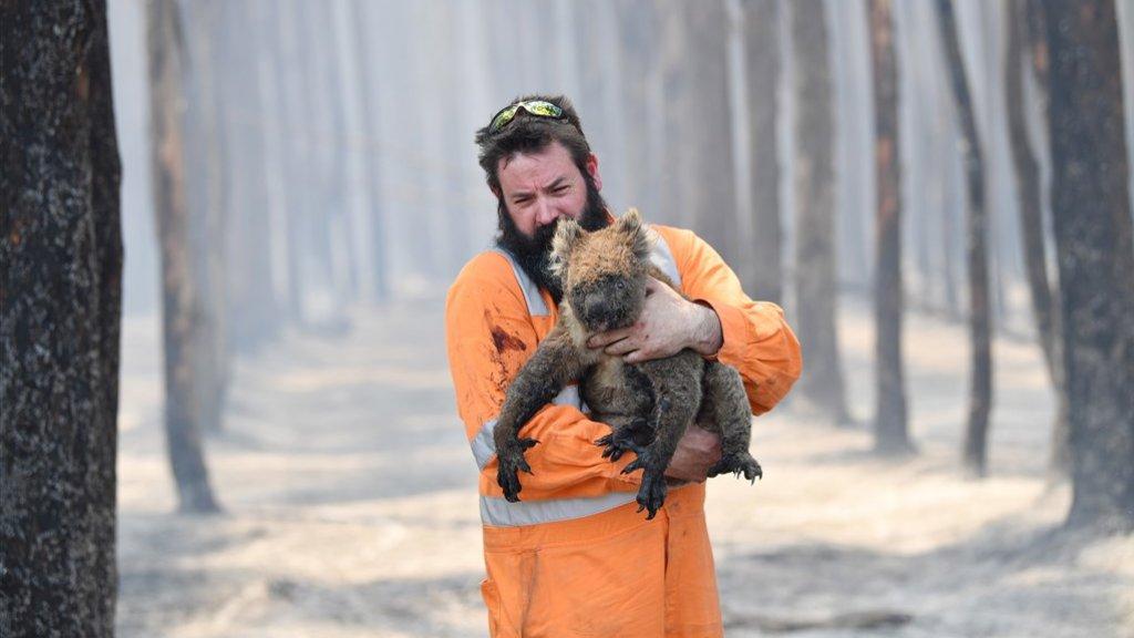 Een koala die werd gered.