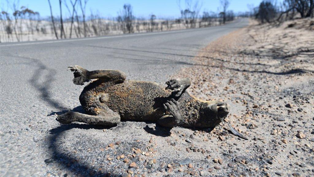 Deze koala ging dood door de bosbranden.