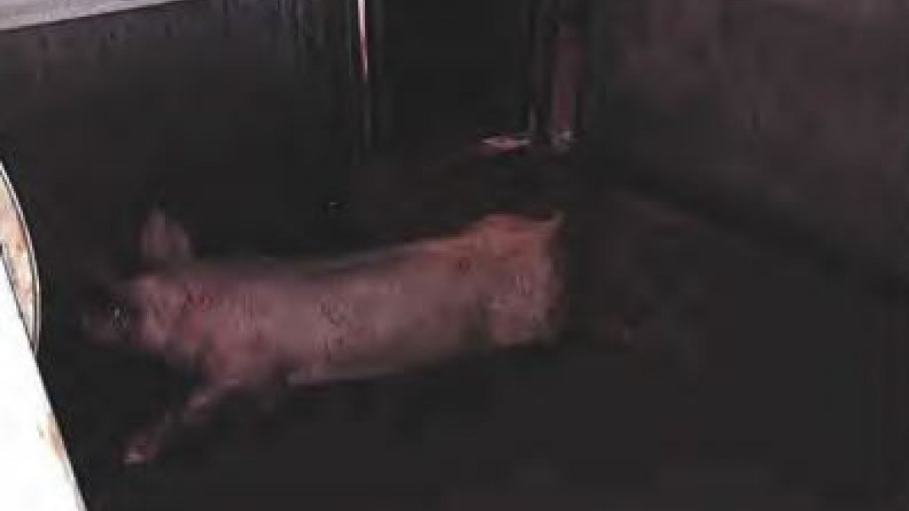 Dit varken is te kreupel om nog op eigen benen te kunnen staan.