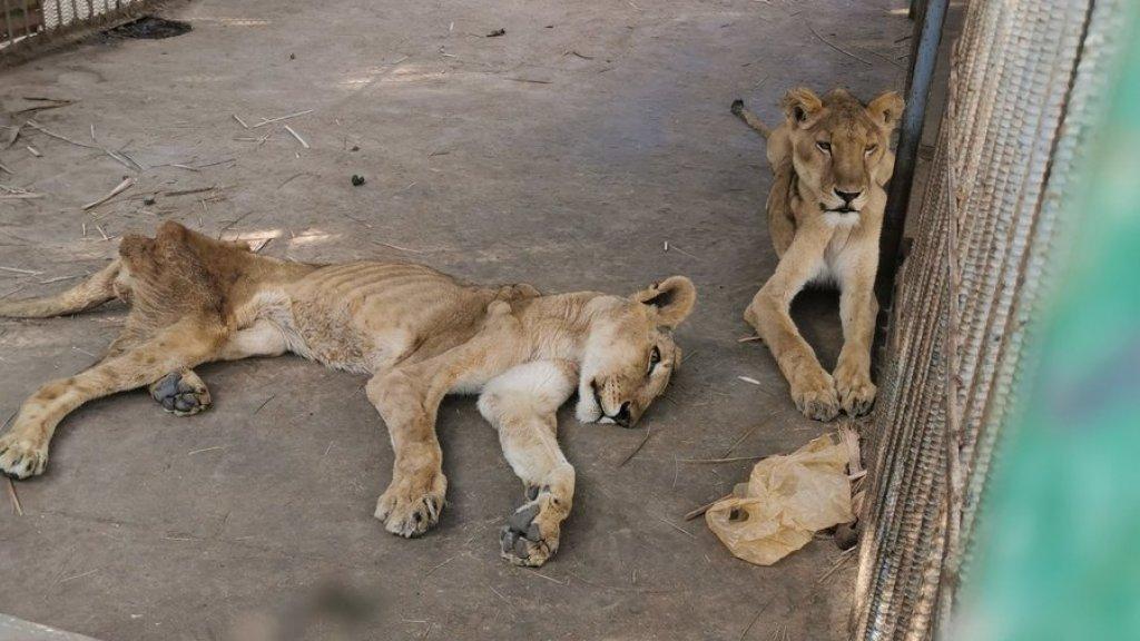 Twee van de leeuwen in het hok.