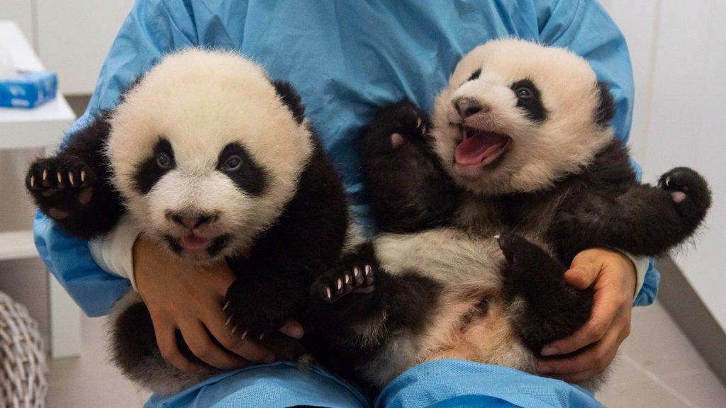 Bao Di en Bao Mei, de pandatweeling geboren in België.