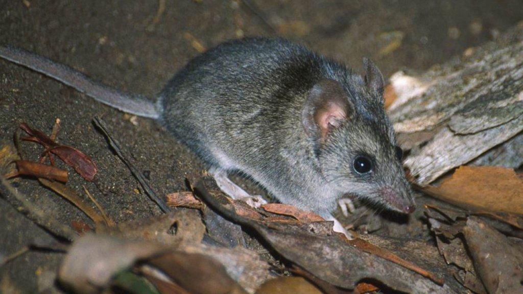 Kangaroo Island-smalvoetbuidelmuis