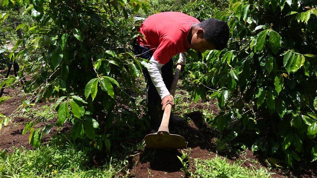 Een arbeider aan het werk op een koffieplantage in Guatemala (archief)