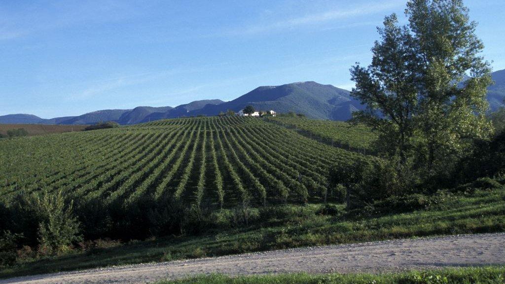 Een 'Verdicchio'-wijngaard in de regio De Marken.