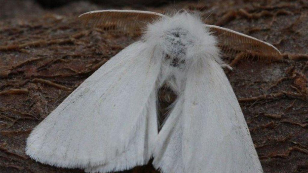 De bastaardsatijnvlinder