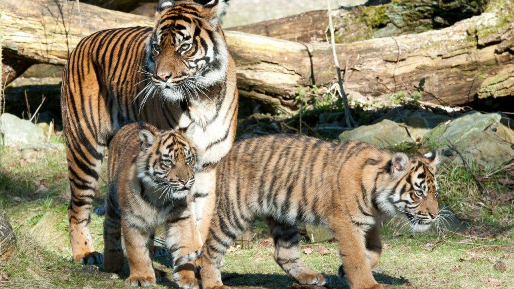De tijgertweeling met hun moeder