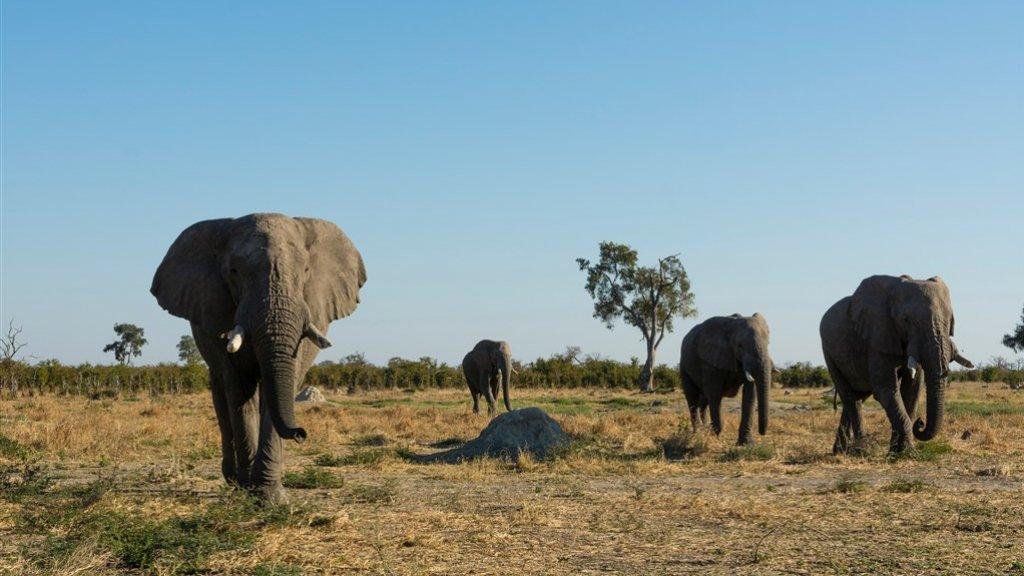 In Botswana leven zo'n 130.000 olifanten.