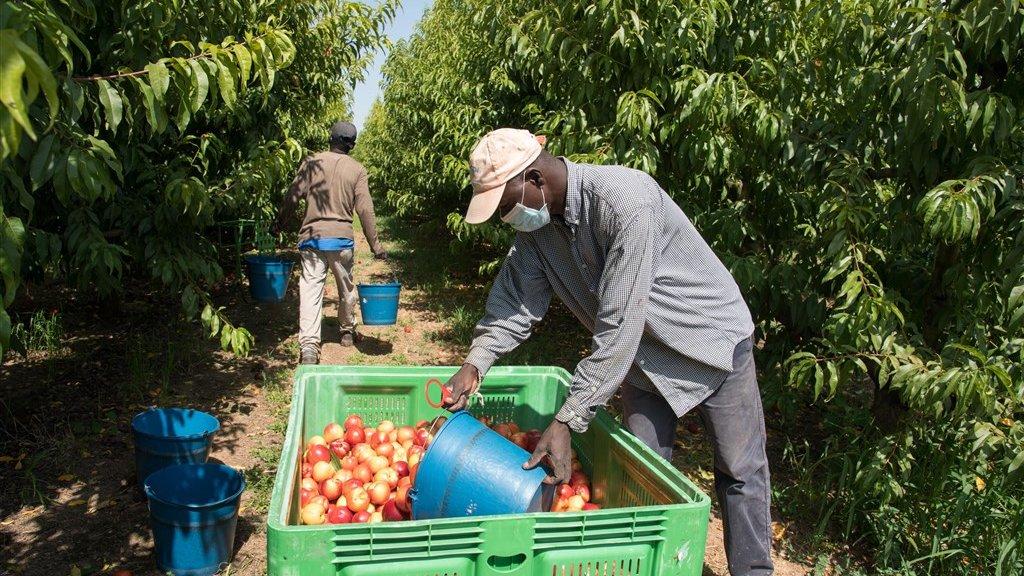 Een fruitplukker aan het werk in Lleida