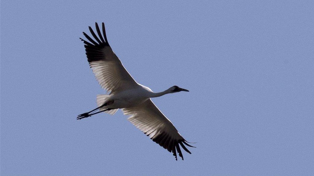 De trompetkraanvogel is de grootste vogelsoort van Noord-Amerika.