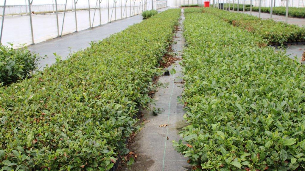Een theeplantage, gewoon in Nederland.