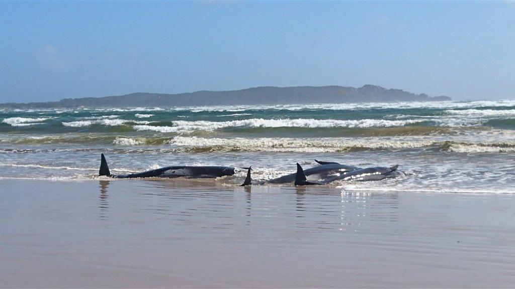 250 walvissen zijn gestrand in een baai op het Australische eiland Tasmanië.