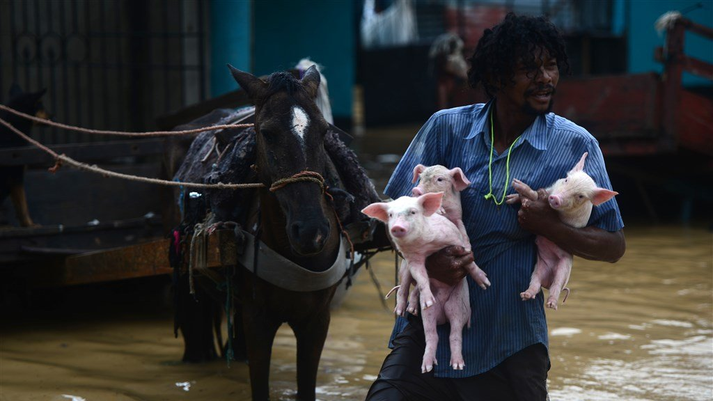 Een man redt zijn biggen in El Progreso, Honduras.
