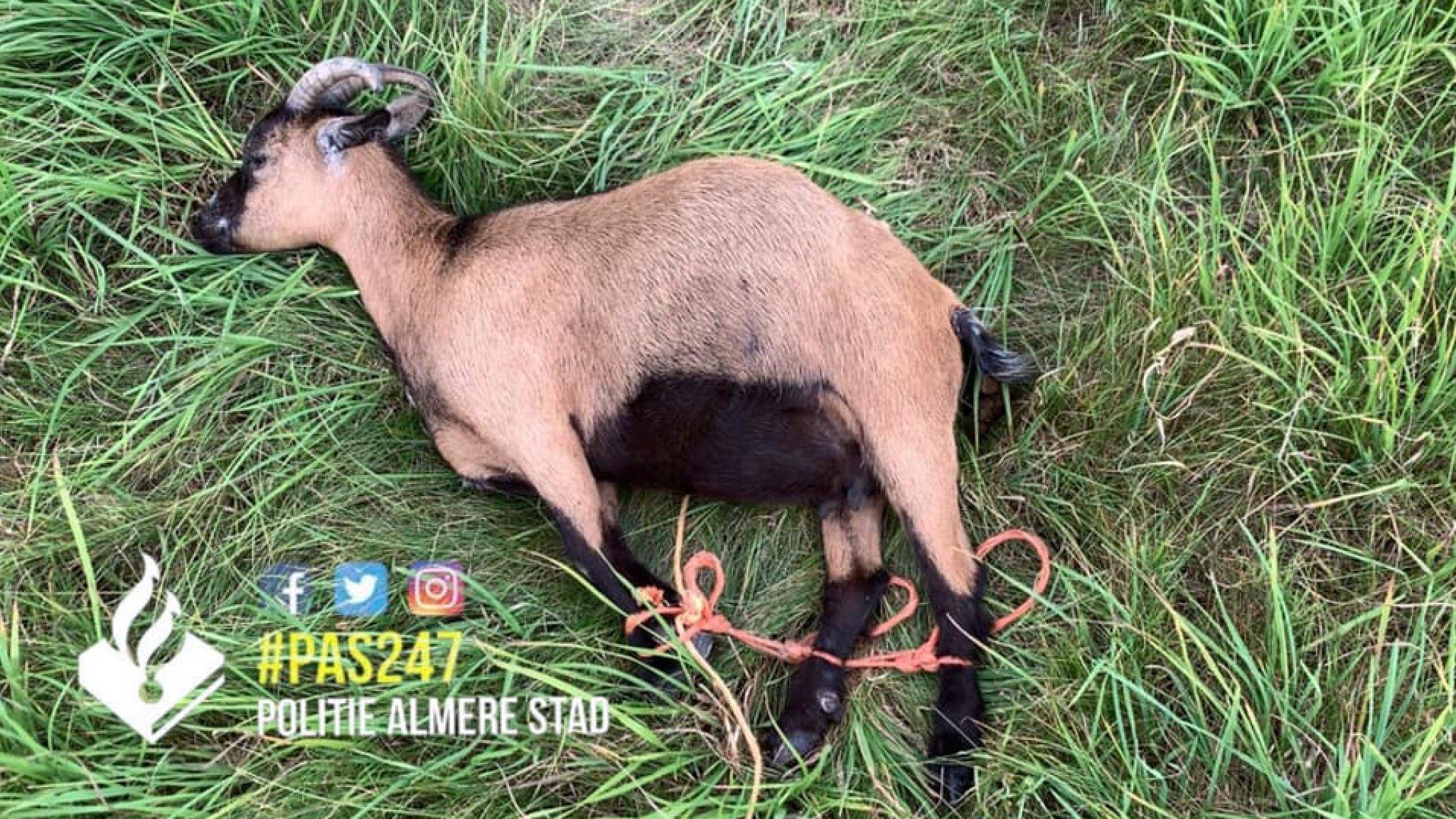 Levend geitje met vastgebonden pootjes achtergelaten in weiland