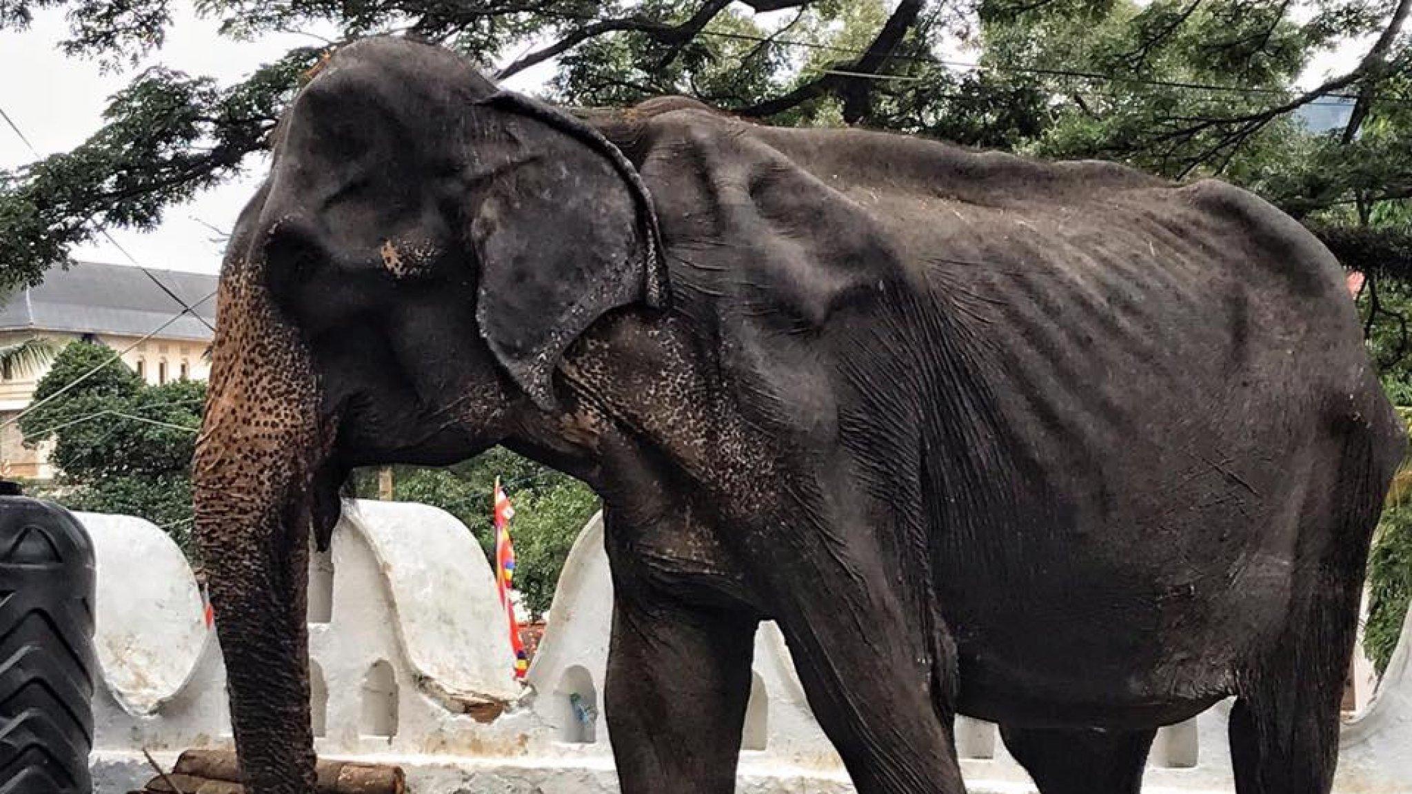 Uitgemergelde bejaarde olifant moet meelopen op festival Sri Lanka