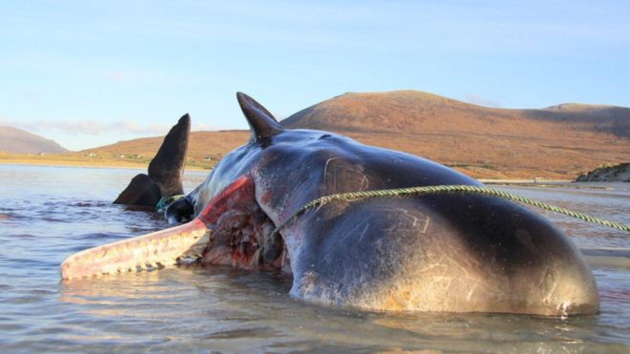 Walvis aangespoeld in Schotland met 100 kilo afval in maag