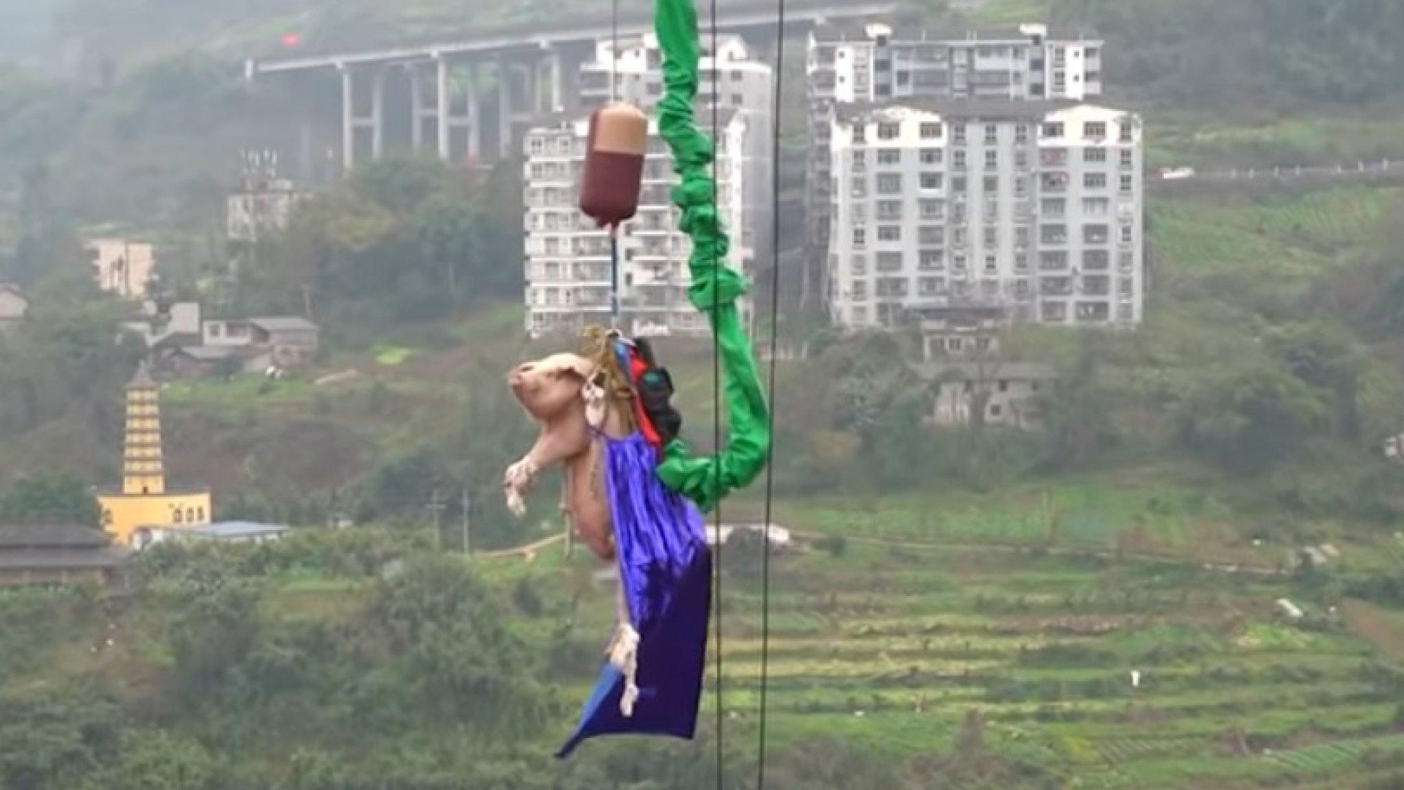 'Walgelijk!' Chinees pretpark dwingt varken tot bungeejump