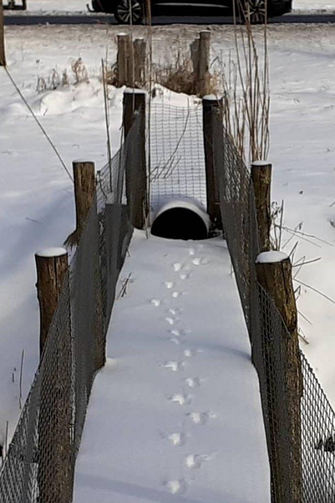Een vos maakte gebruik van dit bruggetje en daarna de tunnel onder de provinciale weg in Almere.
