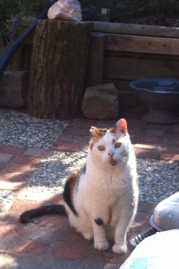 Bij deze kat is het oor geamputeerd vanwege verbranding